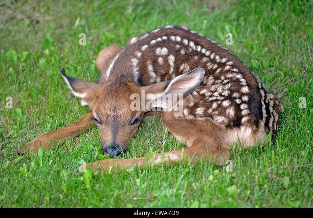 Mule Deer Fawn, few days old resting in grass (Odocoileus hemionus ) - Stock-Bilder