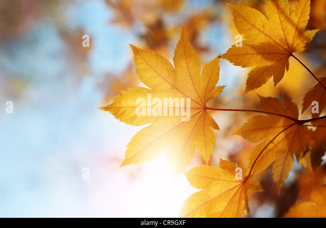 autumn leaves against the blue sky and sun, selective focus - Stock Image