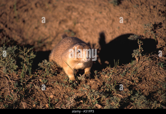 South Dakota prairie dog at entrance to its burrow looking out wildlife animals nature - Stock Image