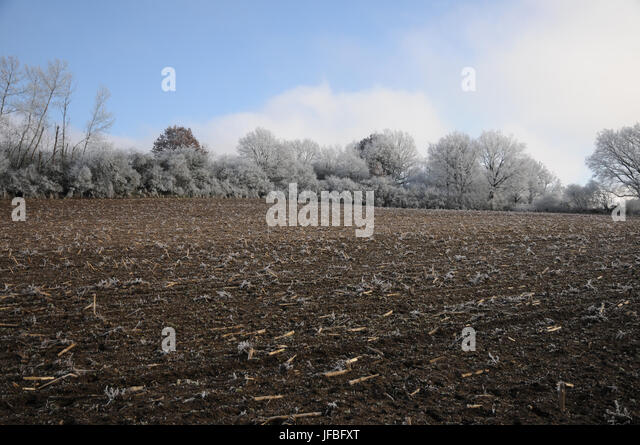Zea mays, Maize Field, White Frost, Fog - Stock Image