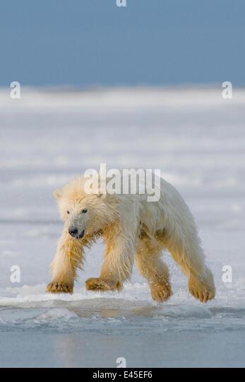 Spring cub Polar bear (Ursus maritimus) jumping from newly forming pack ice, Arctic coast, Arctic National Wildlife - Stock Image