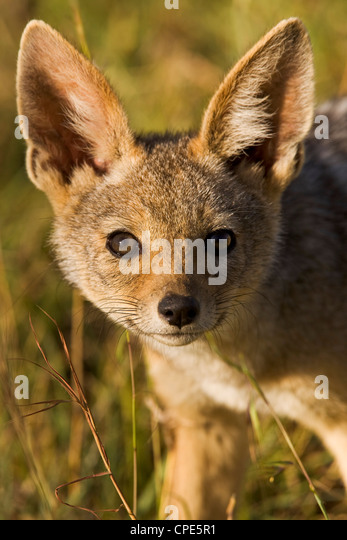 A curious and surprisingly bold black-backed jackal cub in the Masai Mara National Reserve, Kenya, East Africa, - Stock Image