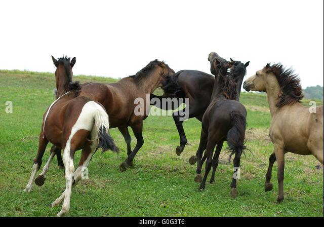 Horses Rank fights - Stock Image