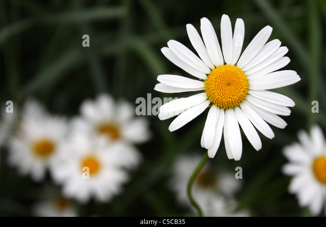 bright daisies on the background of grass - Stock-Bilder