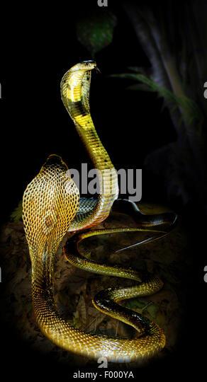 common cobra, Indian cobra (Naja naja), two cobras in threatening gesture - Stock Image