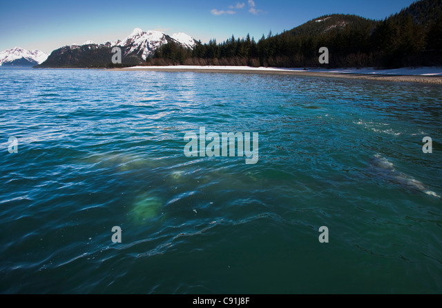 Gray Whale visible in shallow water feeding on herring spawn, Port Gravina, Prince William Sound, Southcentral Alaska, - Stock Image