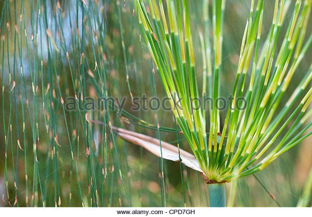 Elegia capensis. Horsetail restio. Broom reed - Stock Image