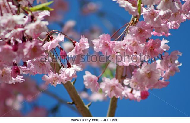 Close up of weeping cherry tree blossoms, Prunus serulata. - Stock Image
