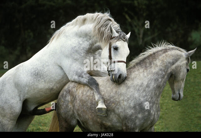 Mare And Stallion Mating Stock Photos & Mare And Stallion ...