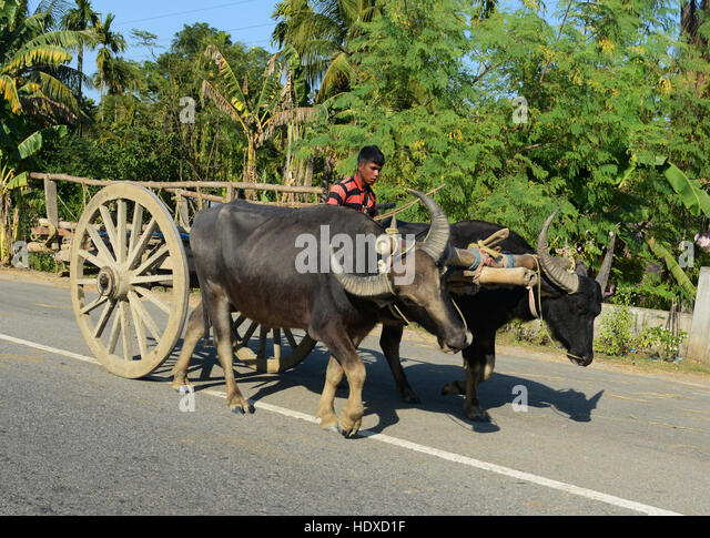 Carrying hay from the harvested paddy fields. - Stock Image