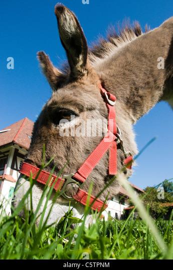 Portrait of donkey (Equus asinus asinus), close up - Stock Image
