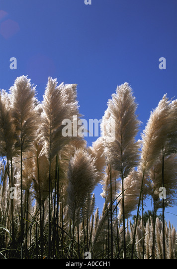 Pampas Grass Uruguay South America - Stock Image