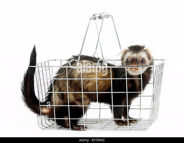 A ferret in a shopping basket. - Stock Image