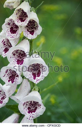 Digitalis purpurea , Pams Choice. Foxglove flower - Stock Image