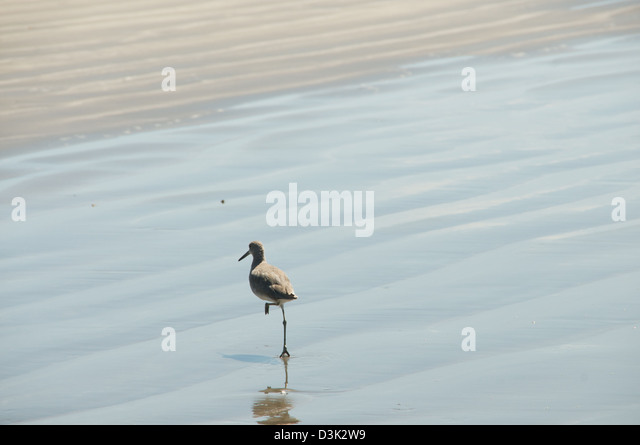 Bird with one foot in the air while walking on the waters edge in the sand - Stock Image