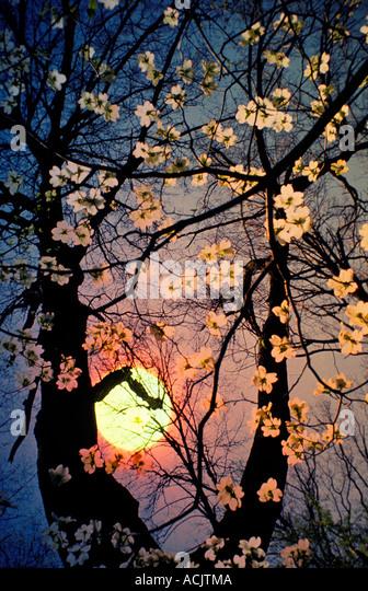 Dogwood Tree Vertical Nobody Stock Photos Dogwood Tree Vertical Nobody Stock Images Alamy