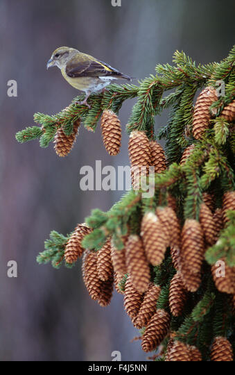 color image cone conifer crossbill day female animal Finland no people outdoors Scandinavia small spruce tree - Stock-Bilder