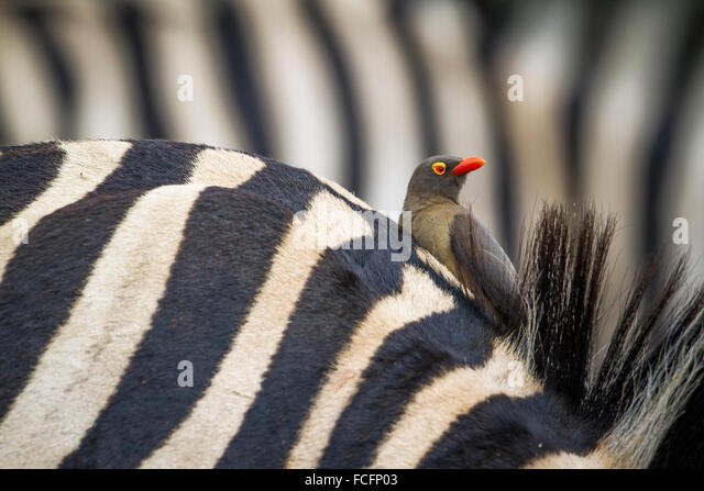 Red-billed buffalo-weaver Specie Bubalornis niger family of Ploceidae - Stock Image