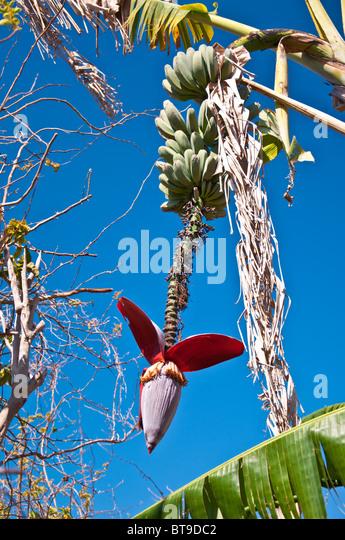 Banana tree with banana bunches and blossom against dark blue sky - Stock Image