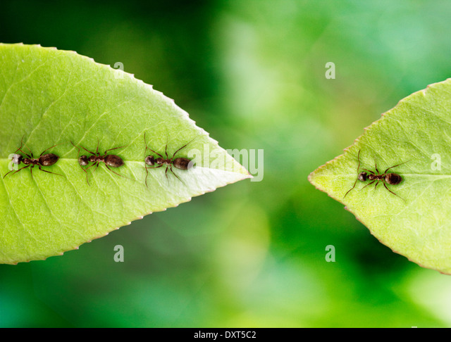 Ant stranded on leaf - Stock Image