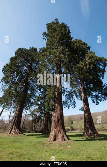 Planting Under Deciduous Trees : Grow height stock photos images alamy