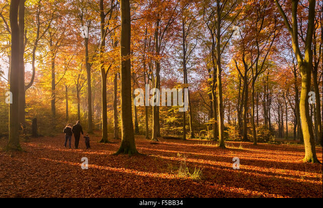 Cambridgeshire, UK. 1st November, 2015. Autumn colours are in full effect in the Beechwoods Forest in Cambridgeshire - Stock Image