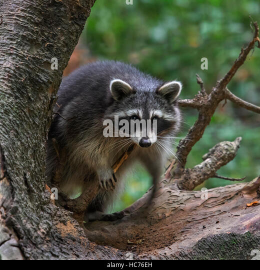 North American raccoon (Procyon lotor), native to North America, climbing in tree in forest - Stock Image