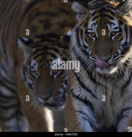 Image Result For Baby Tigers In Thailanda