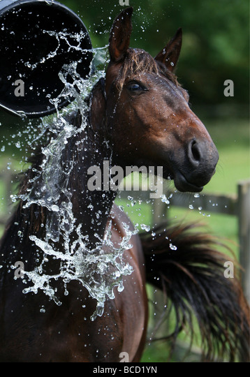 A HORSE APTLY CALLED HEATWAVE COOLING OFF IN A FIELD NEAR NEWMARKET ON WEDNESDAY AFTERNOON AS TEMPERATURES WENT - Stock Image