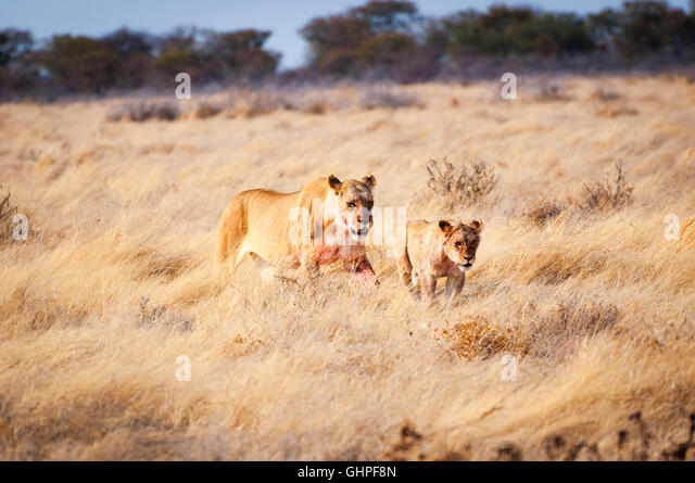 A lioness and a cub in the Etosha National Park, Namibia, Africa; Concept for travel in Africa and Safari - Stock-Bilder