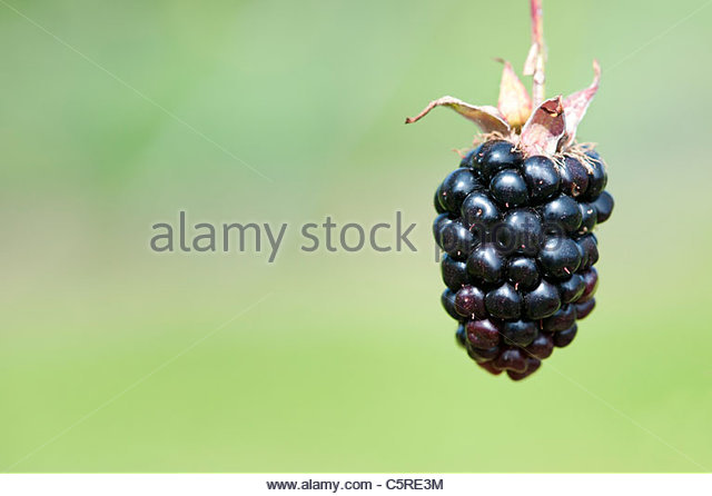 Blackberry Ouachita fruits on the bush - Stock Image