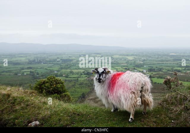 Spray painted sheep on hillside - Stock Image