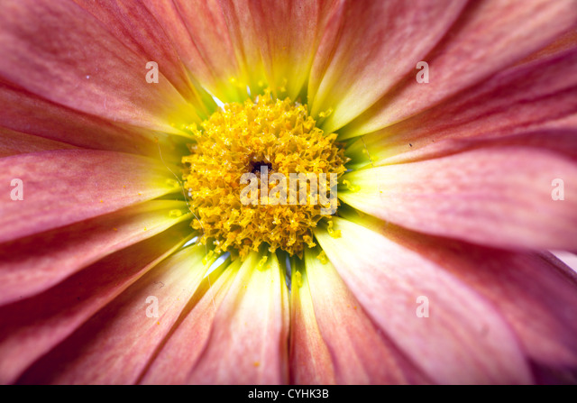 Closeup view of red flower petals - Stock Image