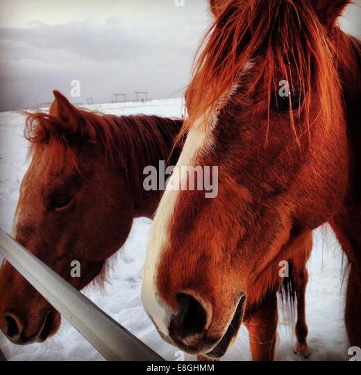 Canada, Alberta, Sorrel Quarter Horses - Stock Image