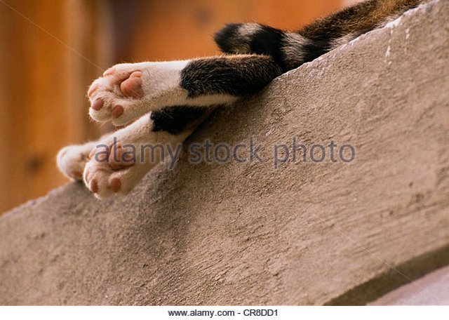 Dangling legs and tail of sleeping cat on ledge, Italy - Stock Image