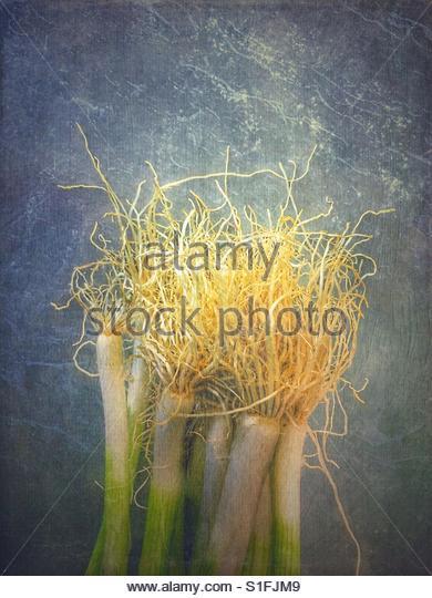 fresh Onions (spring onions) - Stock Image