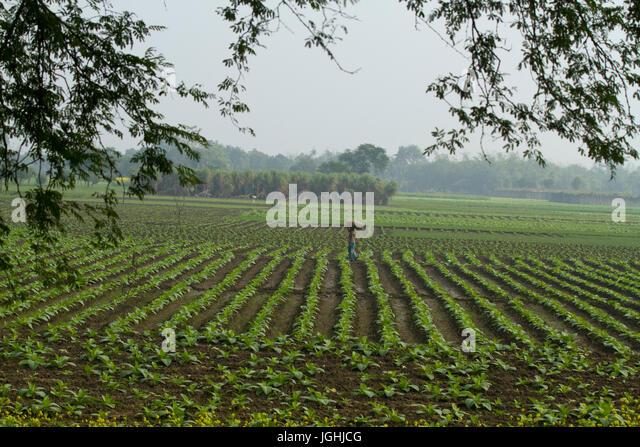 Tobacco field at Meherpur, Bangladesh - Stock Image