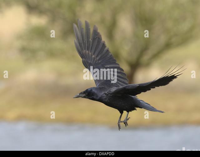 Rook Corvus frugilegus - Juvenile - Stock Image