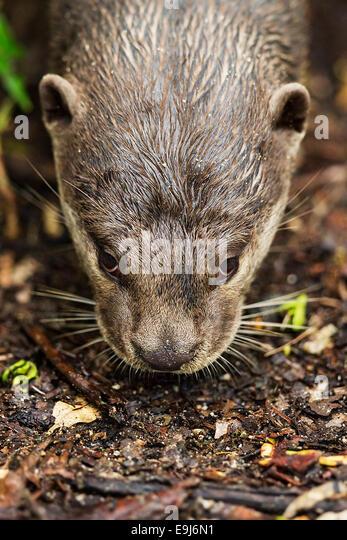 Smooth-coated otter (Lutrogale perspicillata) in mangrove habitat, Singapore - Stock Image