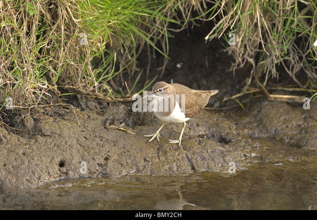 Common, sandpiper, Tringa, hypoleucos  searching for food on river bank. summer. norfolk broads. uk - Stock Image