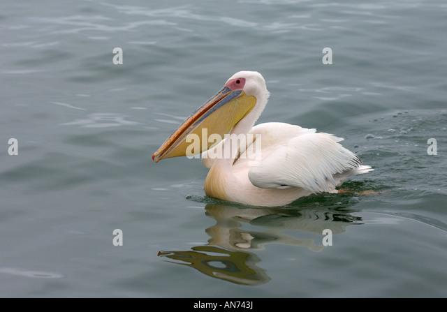 Great white pelican Pelecanus onocrotalus adult swimming Walvis Bay Namibia November - Stock Image