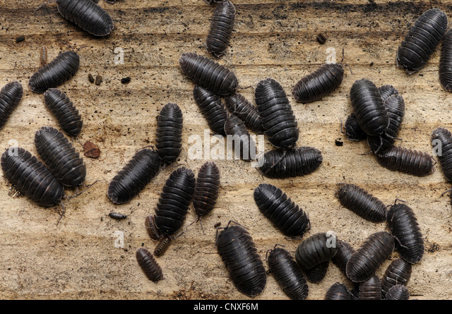 isopods (Isopoda), on tree trunk, Italy, Calabria - Stock Image