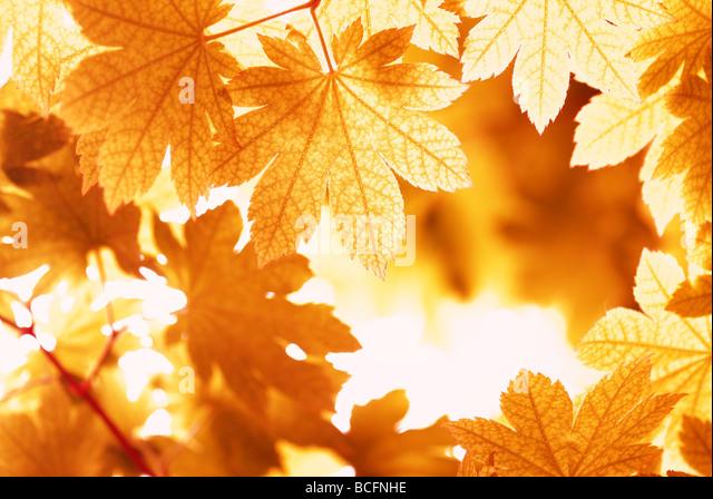 maple leaves in autumn - Stock-Bilder