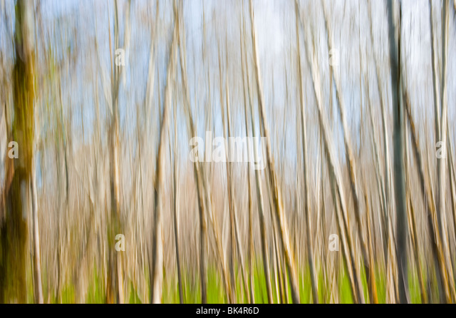 Abstract image of birch trees in a forest - Stock Image