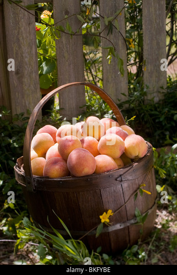 The basket overflows with peaches fresh from the harvest. - Stock Image