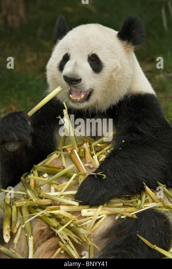 Giant panda sitting feeding on bamboo Sichuan China - Stock Image