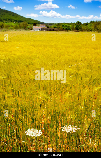 Ibiza island golden wheat fields of mediterranean agriculture - Stock Image