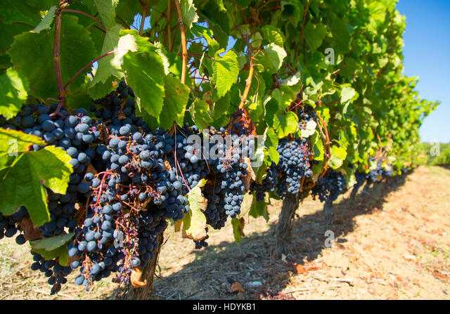 Row of Malbec grapes in Bordeaux vineyard ready for picking in the vendange - Stock Image