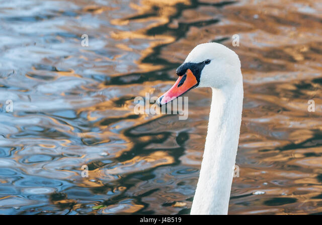Headshot of a white swan in a lake sunrise with reflection in the water - Stock Image