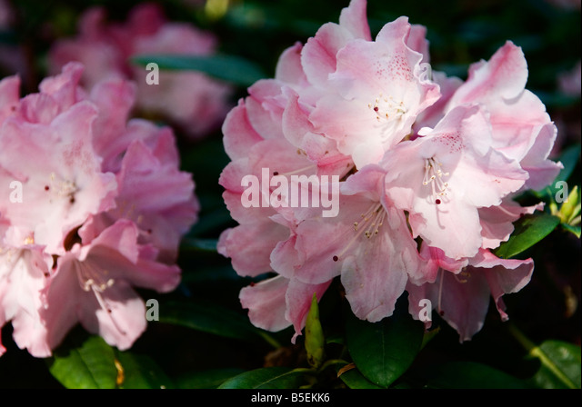 rhododendron yakushimanum stock photos rhododendron. Black Bedroom Furniture Sets. Home Design Ideas